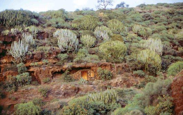 Las euforbias de canarias for Pisos de vegetacion canarias