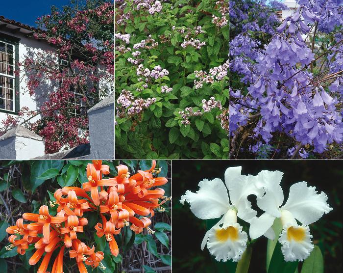 Plantas ornamentales de origen americano for Origen de las plantas ornamentales